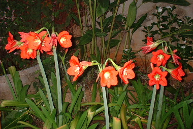 暑い季節の花アマリリス