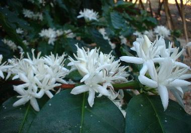 コーヒーの花は可憐な白い花