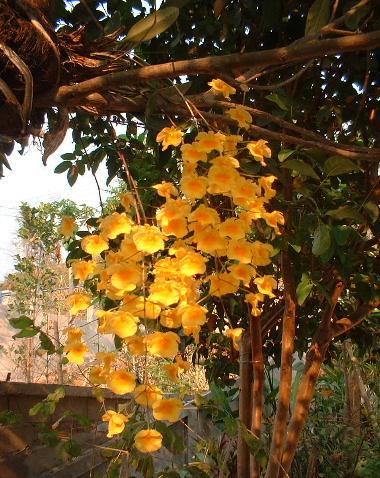 鮮やかな黄色の蘭
