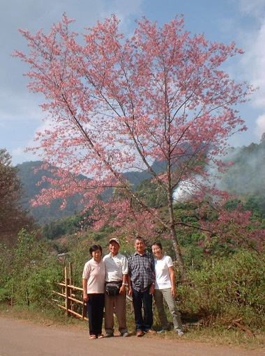 チェンマイから来た甲斐があって見事な桜にウットリ
